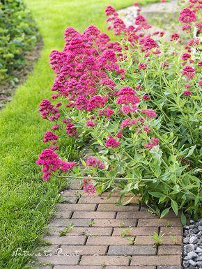Dauerblüher Spornblume ist ein Magnet für Schmetterlinge