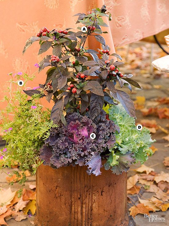 Ornamental black pepper (Capsicum annuum 'Black Pearl') makes an outstanding display in a rusty cast-iron pot with pink verbena, bold purple kale, and ornamental cabbage. A. Ornamental black pepper (Capsicum annuum 'Black Pearl')  B. Pink verbena C. Purple kale D. Ornamental cabbage