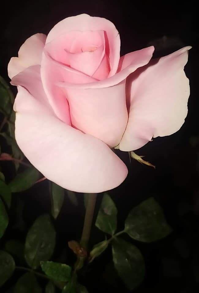 Épinglé par Evelyne sur fleurs roses et rouges   Arbre