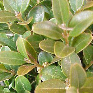 57 best plantas b images on pinterest suelos tipo de for Arbustos de hoja perenne resistentes al frio