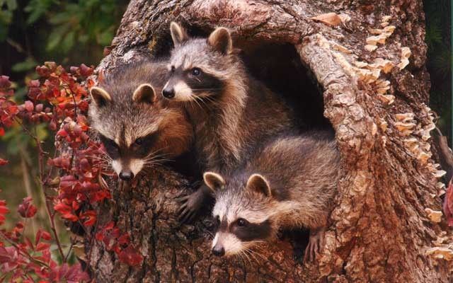 Cute Raccoon Wallpaper Quot I Spotted These Three Musketeers Peeking Out From A
