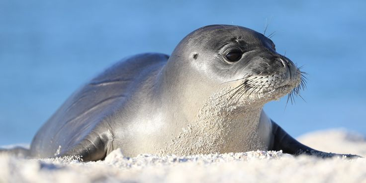 Great news! The critically #endangered #Hawaiian monk seal births are on the rise according to the @MarineMammalOrg