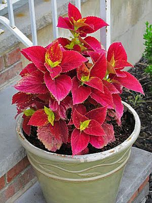 17 Best Images About Craving Coleus On Pinterest