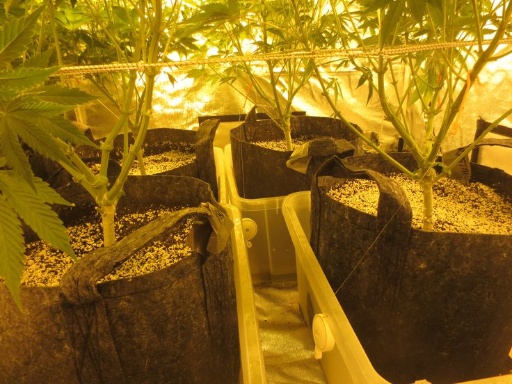 Crystal White week 3 12/12 +  4 weeks vegetative,