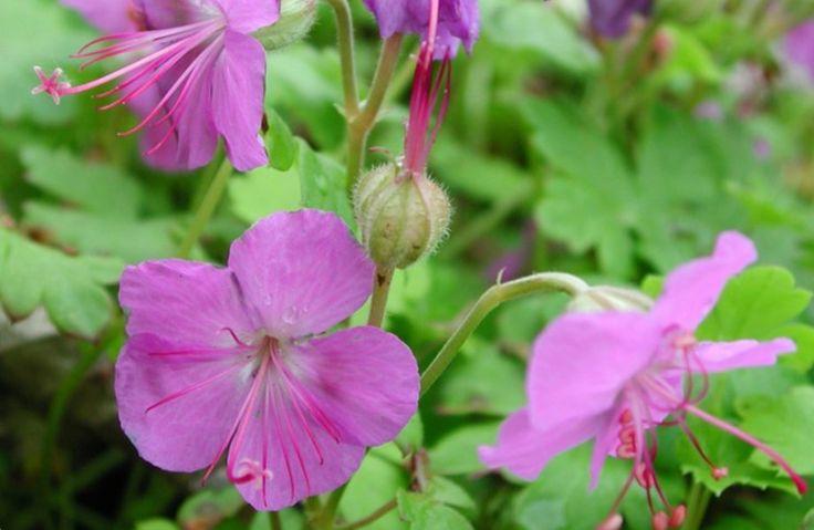 Liten flocknäva, Geranium x cantabrigense. Blir 20-25 cm, blommar juni-juli. Tål alla lägen, medel vattning.