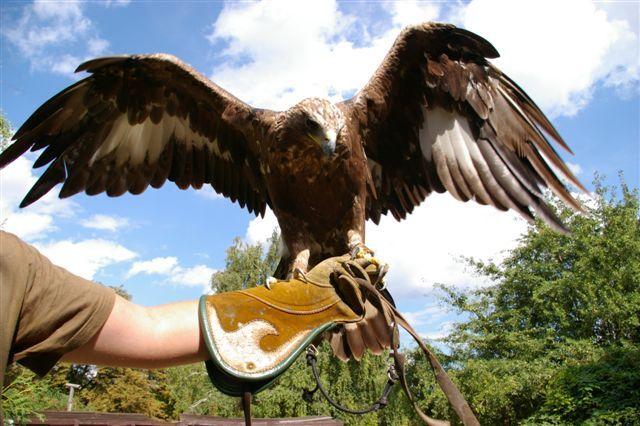 Eagle,Astur