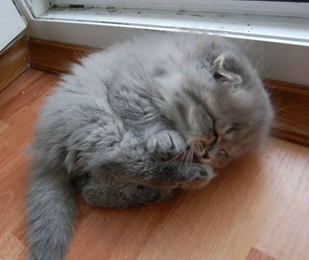 20+ of the World's Fluffiest Cats | This is one of the cutest baby fluff balls I've ever seen!