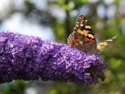 food plants for butterflies there are some plants that you just canu0027t be