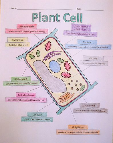 plant cell organelles and their functions Function - the cell membrane separates the cell from its external  the  following organelles are found in both plant and animal  cells 1.