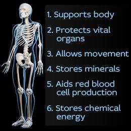 best 20+ skeletal system functions ideas on pinterest | the human, Skeleton