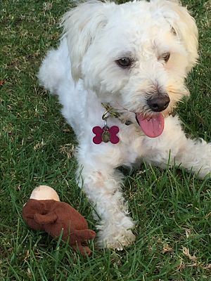Los Angeles, CA - Maltese/Miniature Poodle Mix. Meet Georgie, a puppy for adoption. http://www.adoptapet.com/pet/15302607-los-angeles-california-maltese-mix