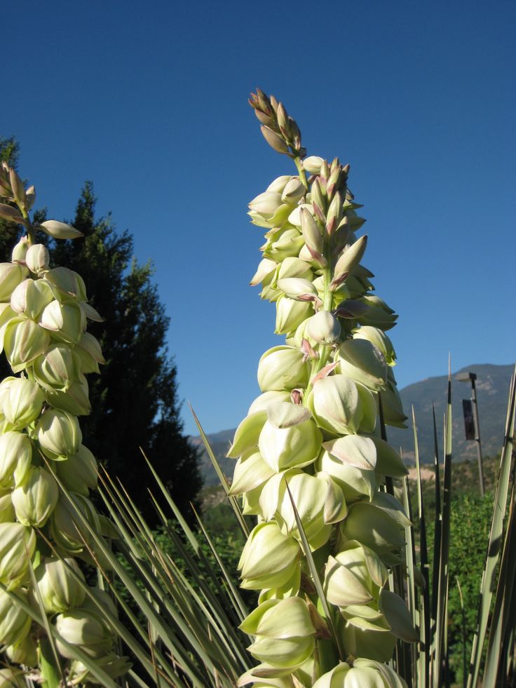 Yucca New Mexico State Flower Flowers Pinterest