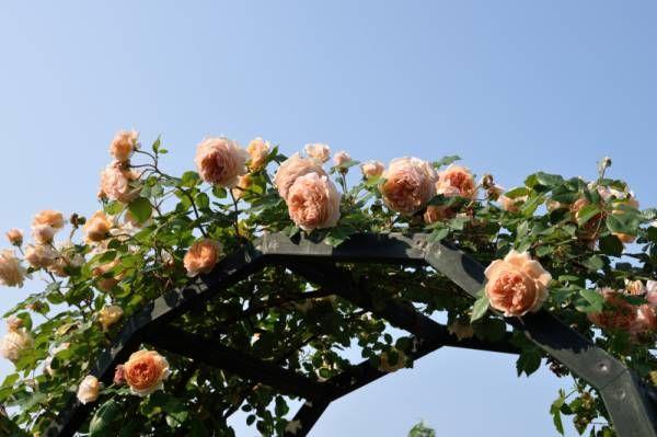 21日、22日は、なんと家族旅行だったんです。想定外にバラの開花が早くて、一番よさそうな週末を留守にしちゃいました。(笑)21日の朝、出発前にバラの写真を撮り始めたら、なかなか止めることができません。家族みんな、後ろ髪をひかれるような出発でした。この辺は、庭の中でもちょっとハデハデなコーナー。レディ・エマ・ハミルトン、ボローニャ、フィリス・バイドなど。←1日1回クリック!人気blogランキングへご協力をお願いしま~す。洗車中の車の屋根。さすが再コーティングしたばかり、すごい水弾き、水玉!拭き取り後は、ご覧のとおり。まるで鏡のような屋根に、「逆さアイスバーグ」。(笑)ボウウィンドウ周り。アンジェラより一足早く、アブラハム・ダービーは満開ですね。庭への裏木戸。裏といっても、南側きなんだけど・・・(笑)...2016ネットでオープンガーデン・・・5月21日