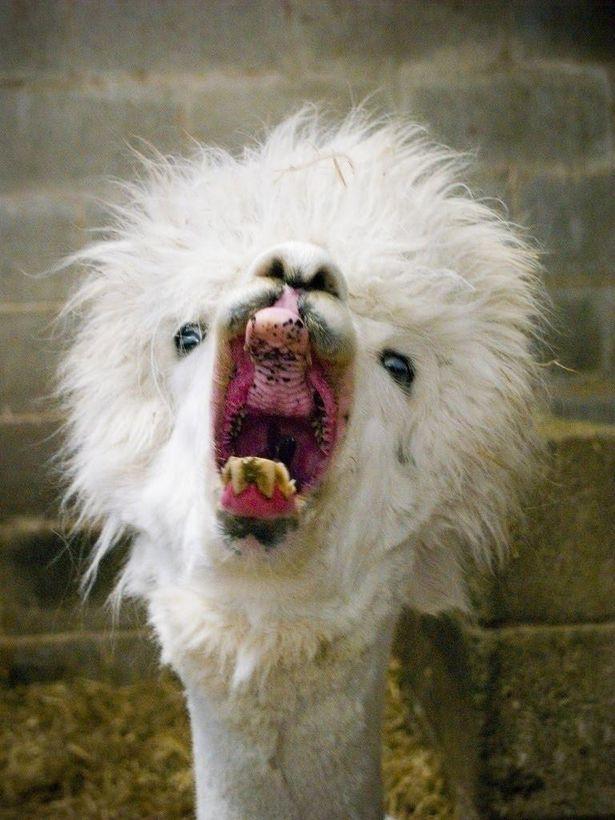 157 best alpacas images on pinterest