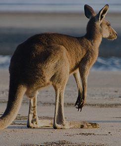 Kangaroo Island Tour - One Way Cruise with Flight Back to Adelaide-Adelaide, Australia INR 21452.0 Duraion:  13 hours and 30 minutes Activity Details: Explore Kangaroo Island, a unique place with dramatic pockets of unspoiled wilderness.