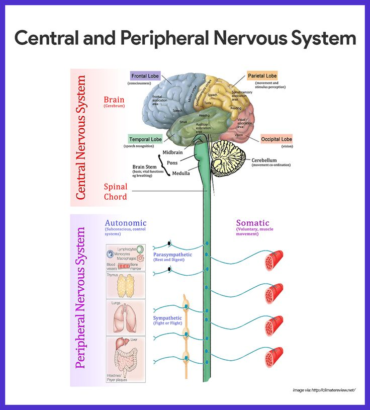 Nervous System Overview: Central & Peripheral - Study.com