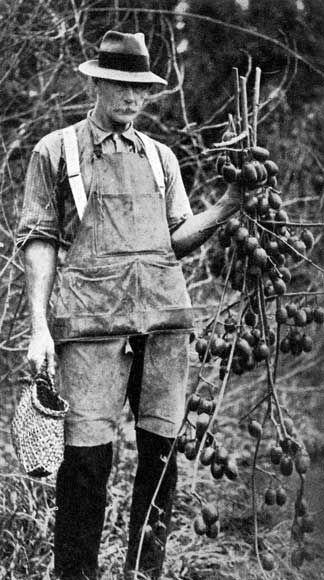 Hayward Wright - flavoursome kiwifruit (1930s)