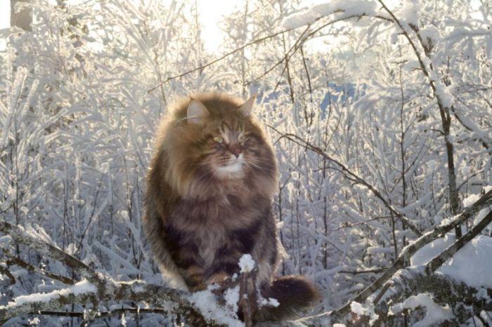 Siberian cat Ezra Amur