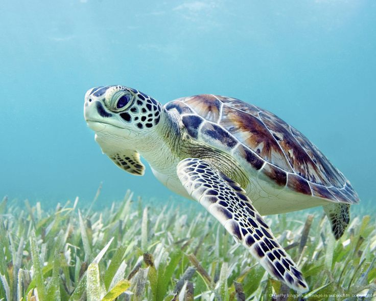 Green sea turtle                                                                                                                                                                                 Mais