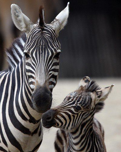 Zebra baby and mother - photo#14