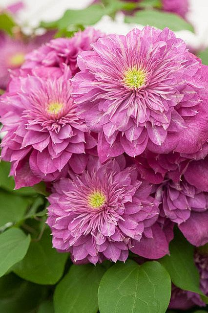 Clematis 'Kaiser'                                                                                                                                                                                 More