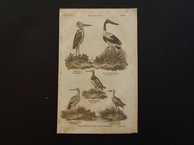 "Antique bird print of Heron Snipe - Beautiful 1826 original steel engraving b/w pictures about Jabiru Godwit Redshank 15,5x24,5c 6x10"" by DecorativePrints on Etsy"