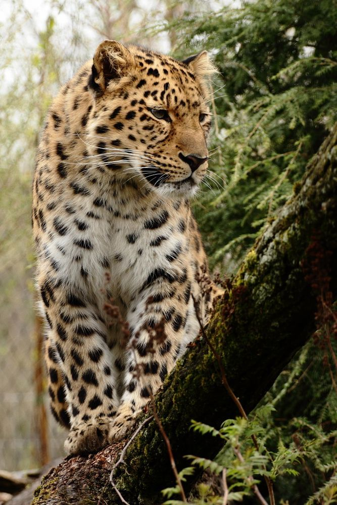 Amurleopard by Andre Promnitz on 500px