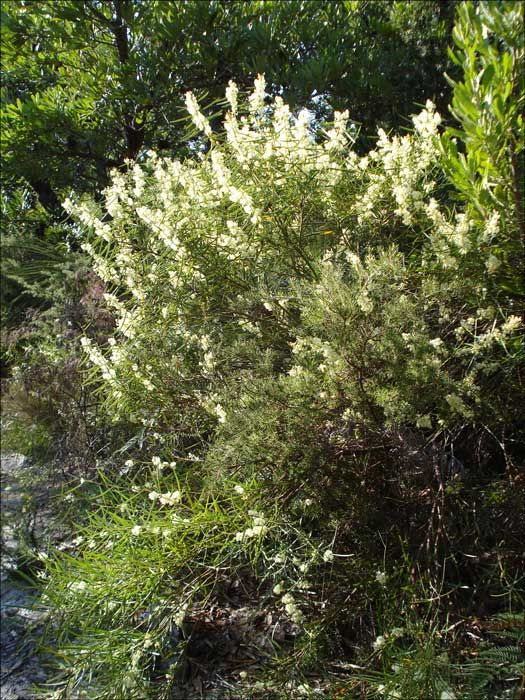 Acacia suaveolens (Sweet Wattle) is a shrub species endemic to Australia. The species occurs naturally on sandy soils in heathland and dry sclerophyll forest in South Australia and Victoria, Tasmania, New South Wales and Queensland