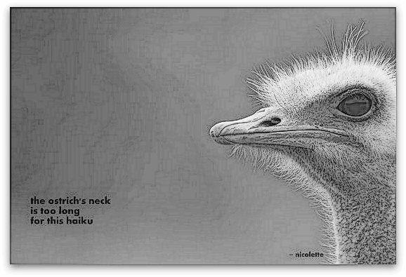 Ostrich haiku © Nicolette van der Walt