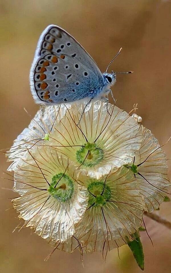 blue butterfly on white flower (from Cyrillic-language site)