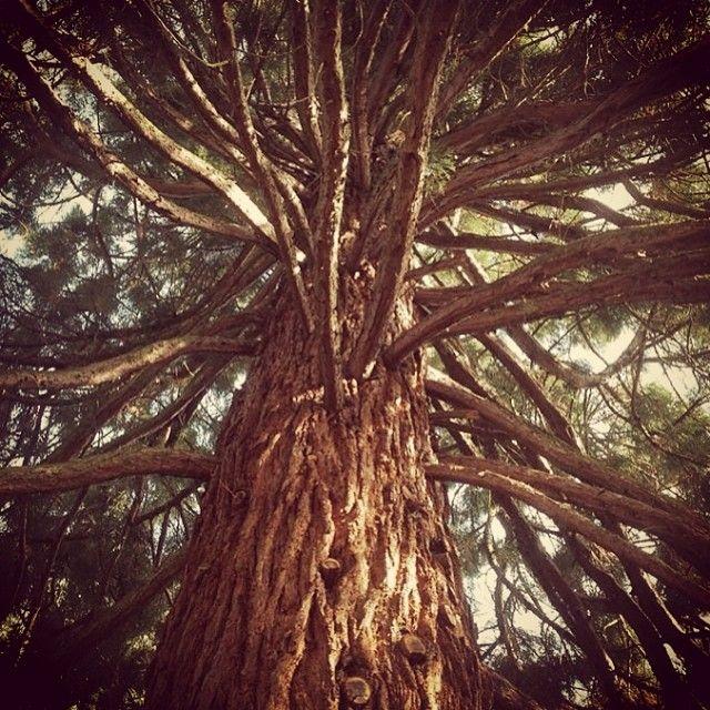 Az egyik legöregebb sárvári lakos is megtalálható az arborétumban.  #nature #wellness #tree Sárvár