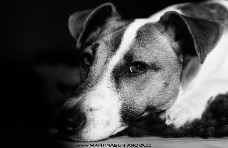 www.martinaburianova.cz - Dogs - Jack Russell Terier