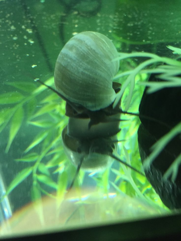 1000 images about mystery snails on pinterest auction for Snails in fish tank