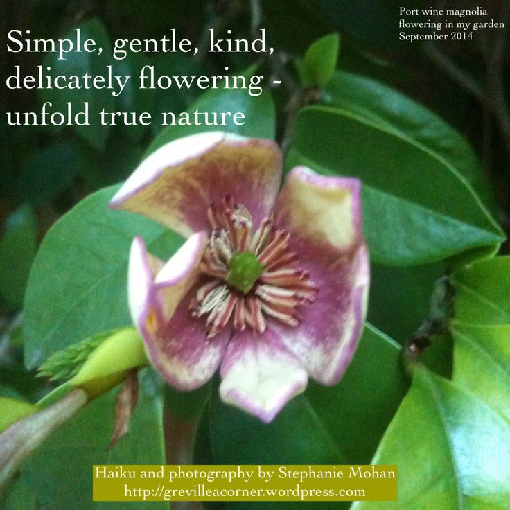 Simple, gentle, kind, delicately flowering - unfold true nature Haiku by Stephanie Mohan - September 2014 photo by Stephanie Mohan - Port Wine Magnolia Sept 2014