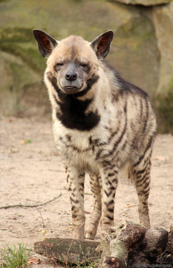 striped hyena - Google Search