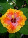 Tahitian Hibiscus Tahitian Dazzler