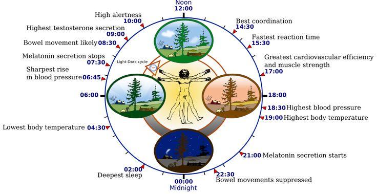File:Biological clock human.svg