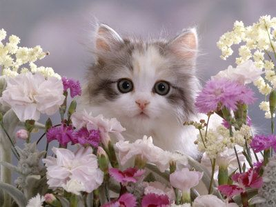8-Week Silver Tortoiseshell-And-White Kitten Among Gillyflowers Carnations and Meadowseed