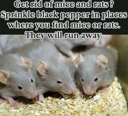 how to get rid of rats without killing them