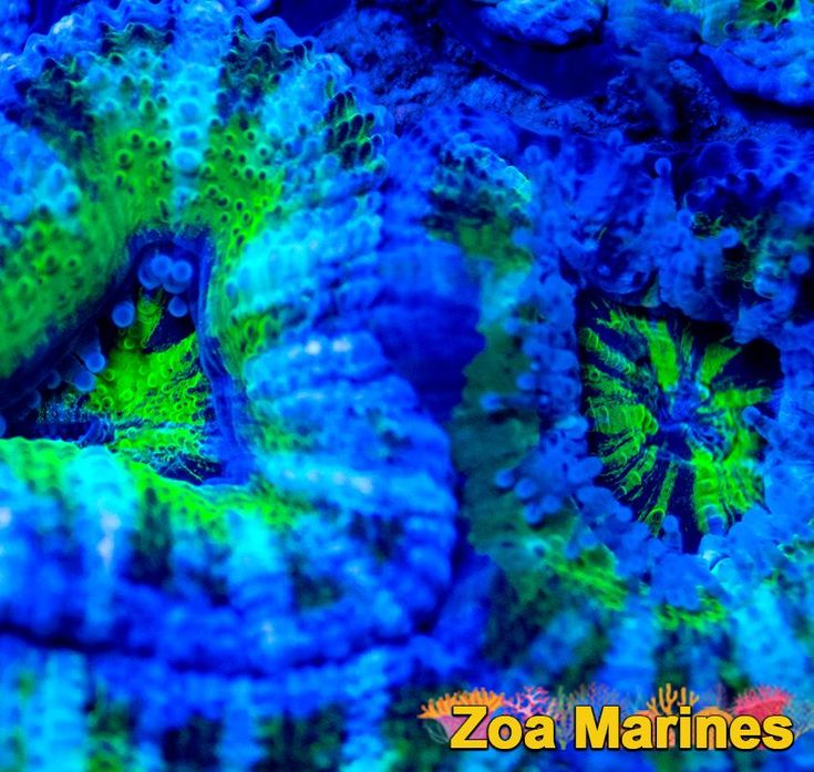 STUNNING UV/Electric Ultra Acan Lord 'Stargate'. Stunning Corals! http://www.zoamarines.co.uk   #saltwateraquarium #marine #marineaquarium #zoa #saltwatertank #corals #zoanthid #coral #frag #reeftank #marinetank #coralfrag #reefkeeping #frags
