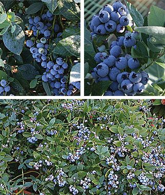 Three varieties for southern areas, for 90 days of harvest: Misty, Jubilee and Sunshine Blue  90 days of harvest from three Southern Highbush blueberries: Misty (300 chill hours), Jubilee (500 chill hours) and Sunshine Blue (150 chill hours). Southernn Highbush blueberries are low chill varieties, hybridized for heat tolerance and low winter chilling. These are adapted to California, the Sunbelt, Southeast, and as far north as Seattle in the Northwest.