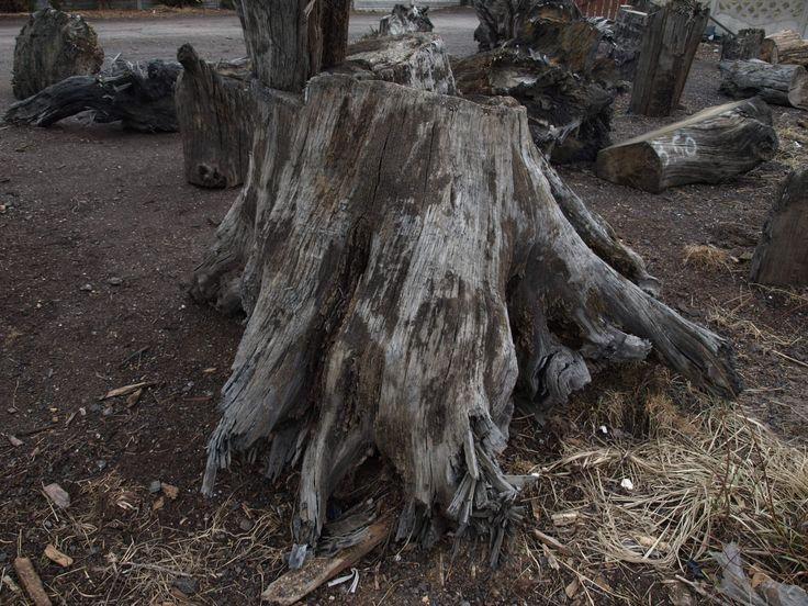 Root Bog Oak 800-6500 years old FOR SALE office@riverwood.eu
