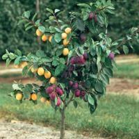 Buy fruit trees according to zip code