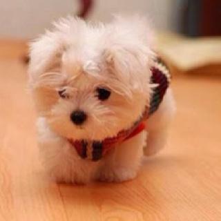 Adorable little Maltese.