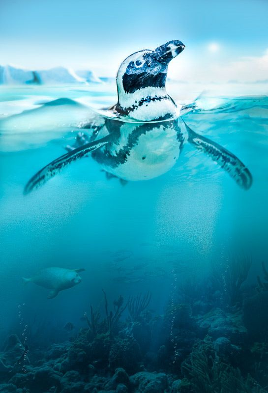 Penguin by Peter Hernandez on 500px