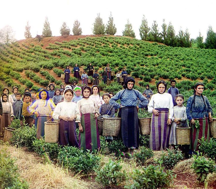 ca. 1907-1915 Workers, identified by Prokudin-Gorskii as Greeks, pose while harvesting tea from plants spreading over rolling hills near Chakva, on the east coast of the Black Sea. This region of the Russian Empire, in present day Ukraine, Moldova and Georgia, had a significant Greek minority.