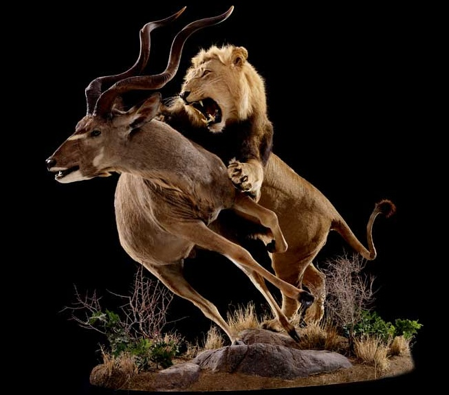 Lion Attacking Greater Kudu | Animal Kingdom | Pinterest ...