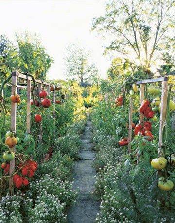 Tomato fences - a beautiful way to line a garden path