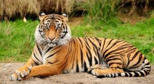 Bengal Tiger Facts for Kids from Animals Time