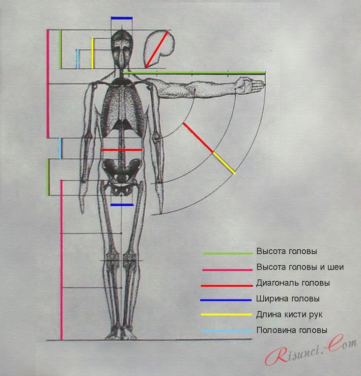 пропорции человека относительно головы фото ручной циркулярки хороший